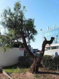 Aperçu de l' abattage d'un faux-poivrier à Saint Laurent du Var (06)